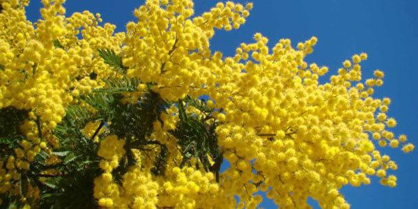 mimosa simbolo della festa della donna